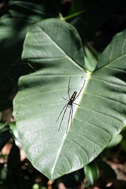Spider Buddhies