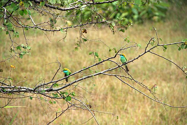 Green Beater