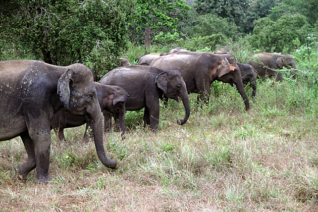 Wild-elephants-Sri-Lanka